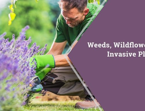 Weeds, Wildflowers or Invasive Plants?